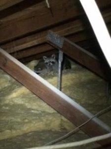 Raccoon Removal Leesburg VA