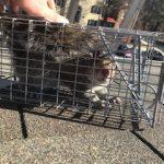 Quote squirrel removal fairfax, VA